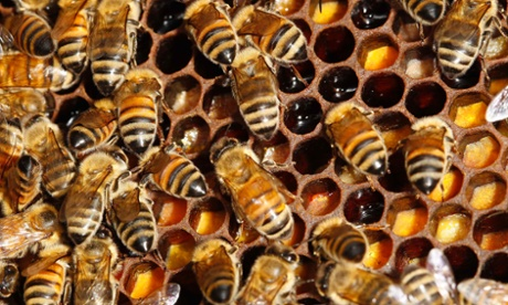 Bees, like sharks and Hadza hunter-gatherers, forage in a pattern called Levy walks. Photograph: Jacky Naegelen/Reuters